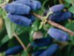 Жимолость садовая кусты посадка уход выращивание сорта