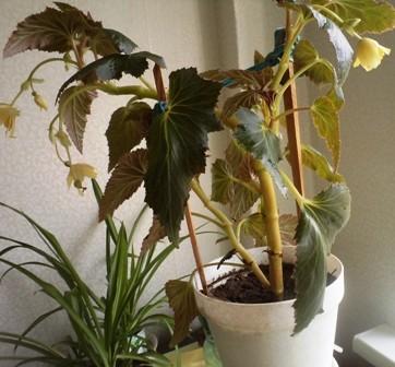 скручиваются листья