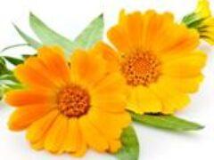 Цветы  календулы однолетние целебные свойства