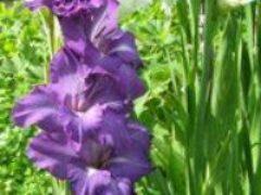 Гладиолусы в Сибири посадка выращивание хранение