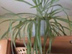 Хлорофитум комнатный цветок есть почти в каждой квартире