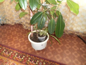 хлорофитум под большим цветком