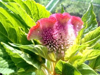 цветы на солнечном балконе целозия
