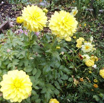 георгины желтые сиса