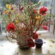 Цветы портулака однолетнего украсят участок и солнечный балкон