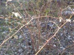 Уход за кустами малины поздней осенью укрытие