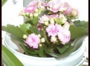 Коланхоэ целебное многолетнее растение в квартире