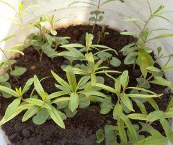 сроки посева семян на рассаду гранаты