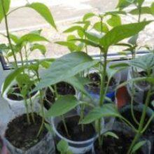 Сроки посева семян на рассаду теплолюбивых растений