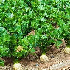 корнеплоды в почве