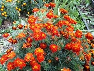 выращивание рассады цветов бархатцы