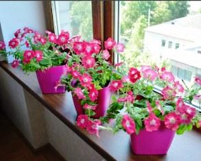 выращивание рассады цветов петунии на балконе