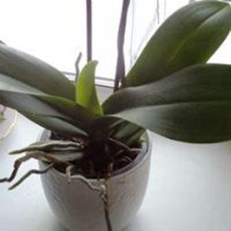 орхидея в покое