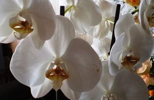 цветы орхидеи