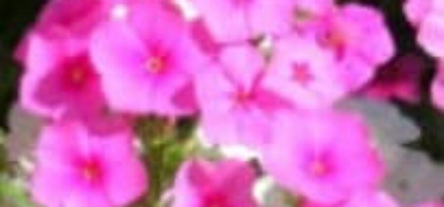 Пересадка рассады цветов в открытый грунт в мае
